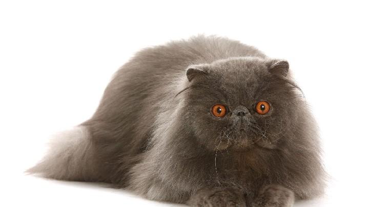 Concours international de beauté pour chat